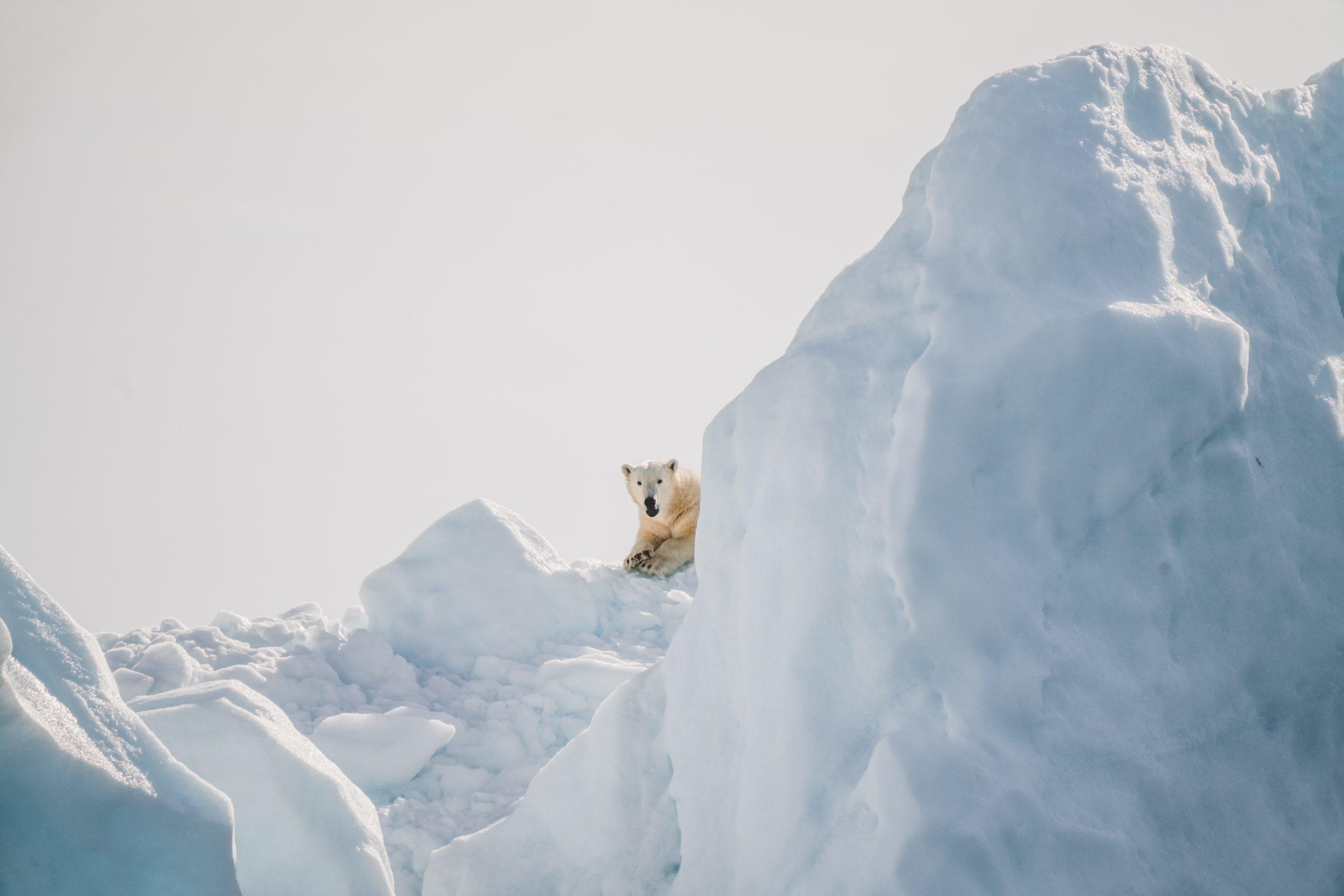 Isbjörn på isberg